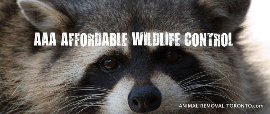 1-raccoon-removal-toronto