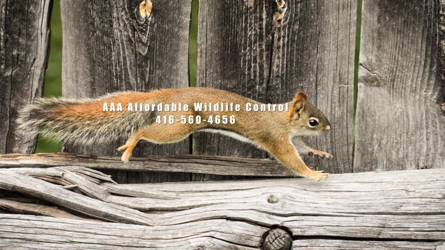 Animal Removal Toronto - Squirrel Removal