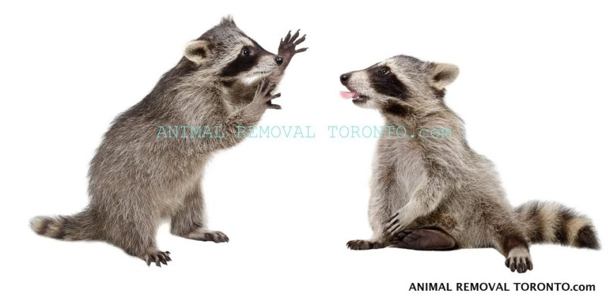 cropped-1-animal-removal-toronto-raccoons-001.jpg